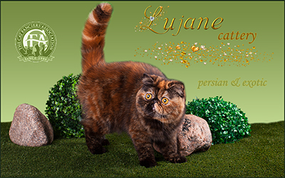 Lujane cattery - Persian and Exotic